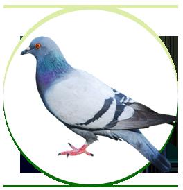 pombos-urbanos